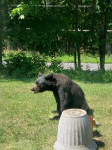 Bear Warwick 2
