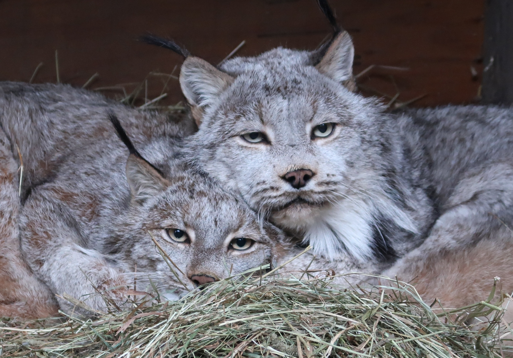 Calagary, Pictured On The Right, Snuggling In An Elevated Den Box With His Mate, Sylvie. Picture Courtesy Of Bpzoo
